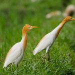 herons bird bali